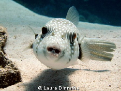 Whitespotted puffer by Laura Dinraths 